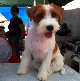 Il nostro allevamento - Top Jack Kennel Jack Russell